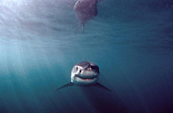 Dovey Sharks1 690 2039380923808  LIBERTY INFINITY