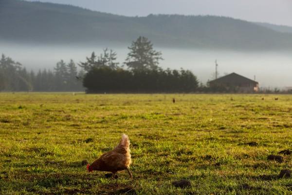 hen pet in the wild www.memphismeats.com www.libertyinfinity.org  600x400 PLS READ  LIBERTY INFINITY