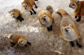 foxes give up   throw your life away  LIBERTY INFINITY